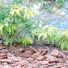 Підготовка посадкового місця і рослини, не виносять кореневої конкуренції