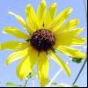 Соняшник сорнополевой, чечевіцевідний (helianthus lenticularis dougl.)