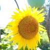 Соняшник декоративний або геліантус