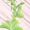 Лимонник / schizandra chinensis