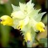 Погремок великий (rhinanthus major l.)