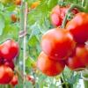 Полив і підживлення томатів