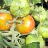 Помідори: як прискорити дозрівання томатів