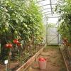 Помідори, сорти і гібриди томатів для посіву на розсаду