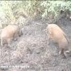 Породи свиней, які підходять для розведення в росії