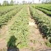 Посадка баклажанів у відкритий грунт і особливості вирощування