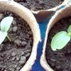 Посів огірків