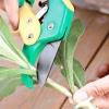 Правильне живцювання вічнозелених декоративних рослин.