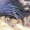 Прибуткова цесарка - утримання та догляд за «екзотичної» птахом в домашніх умовах