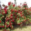 Раскажите як розмножувати плетистую троянду