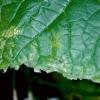 Поширені хвороби огірків: описи і фото захворювань
