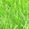 Розглядаємо найпопулярніші види газонів і вибираємо кращий для дачі!