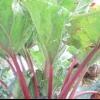 Рослина ревінь: вирощування і корисні властивості