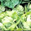 Рослина салат: опис і користь листового салату