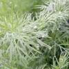 Рослина кріп: зовнішній опис кропу і корисні властивості листя, коріння і насіння