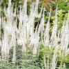 Рослина веронікаструми (veronicastrum) і його фото