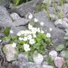 Рослини для альпійської гірки - тонкощі вибору