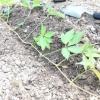 Розмноження дівочого винограду відводками