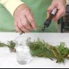 Розмноження хвойних рослин і стратифікація насіння хвойних