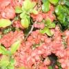 Розмноження та вирощування айви з насіння