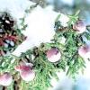Ялівець / juniperus
