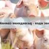 Розведення свиней як бізнес - що потрібно врахувати, щоб домогтися високої рентабельності?