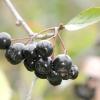 Горобина чорноплідна / aronia melanocarpa
