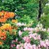 Рододендрони для середньої смуги: забезпечуємо умови