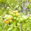 Ромова ягода