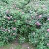 Роза зморшкувата, ругоза