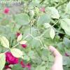 Троянди: ознаки нестачі елементів живлення