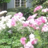 Троянди в ландшафтному дизайні і їх фото