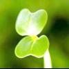 Салат: терміни вирощування та посів