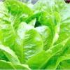Салат: догляд за рослинами