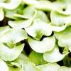 Сальвія блискуча: вирощуємо розсаду