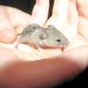Самі гуманні способи позбавлення від мишей і щурів