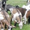Найсерйозніші і небезпечні хвороби кіз та їх лікування