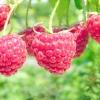 Секрети гарного врожаю малини