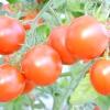 Секрети гарного врожаю помідорів