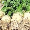 Секрети вирощування кореневої селери - на що потрібно звернути увагу