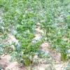Селера: корисні властивості, посадка, вирощування і догляд