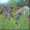 Щириця біла (amaranthus albus l.)