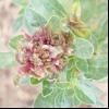 Щириця жміндовідная (amaranthus blitoides s. Wats.)