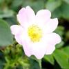Шипшина / species roses