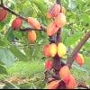 Шоколадне дерево какао