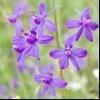 Шпорник польовий (delphinium consolida consolida regalis)