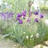 Ірис / iris