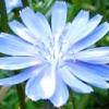 Синь-квітка