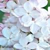 Бузок: крупноцветковие сорти