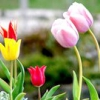 Казка про тюльпані